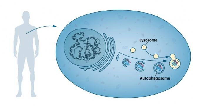 리소좀은 세포의 구성물질을 분해하는 효소를 가지고 있다. 자가소포체는 분해될 세포 구성물질을 리소좀으로 운반하는 역할을 한다.  - 노벨상 위원회 제공